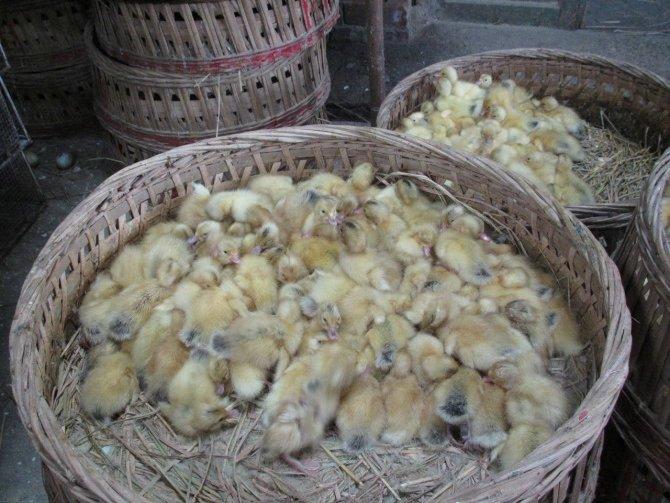 土杂交鸭订购
