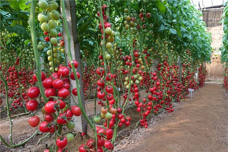 T61-61现代立新推荐优秀西红柿种子