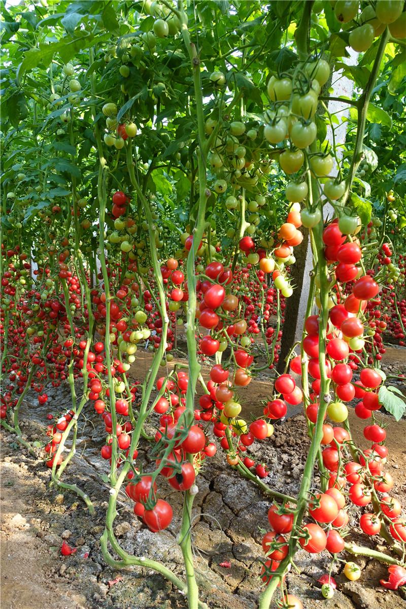 T61-87广西现代立新樱桃番茄种子
