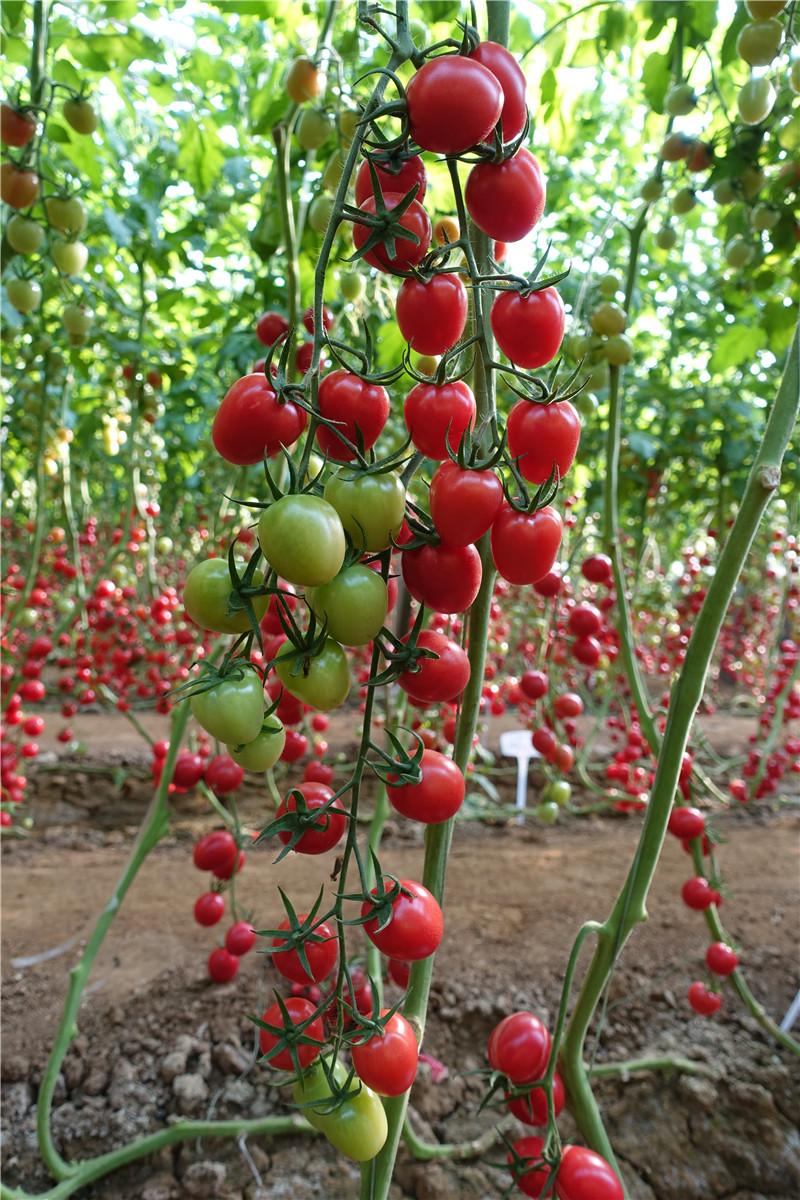 T61-94广西现代立新农业优质西红柿品种