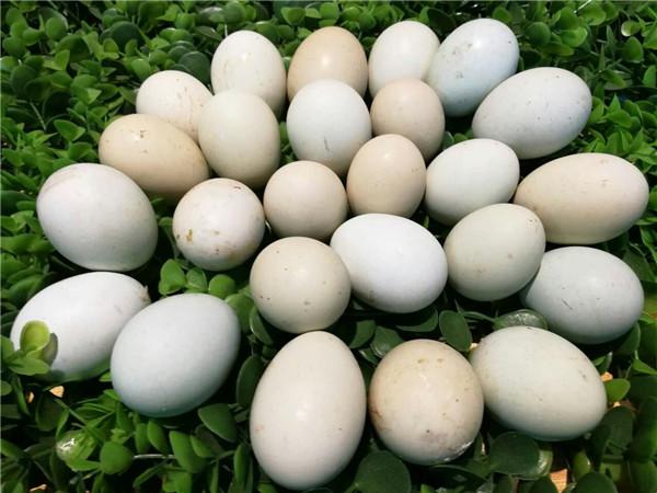 山鸡蛋.jpg