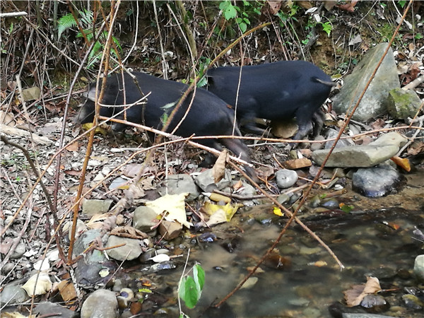 黑山猪.jpg