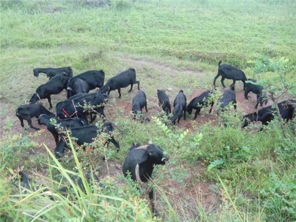 黑山羊.jpg