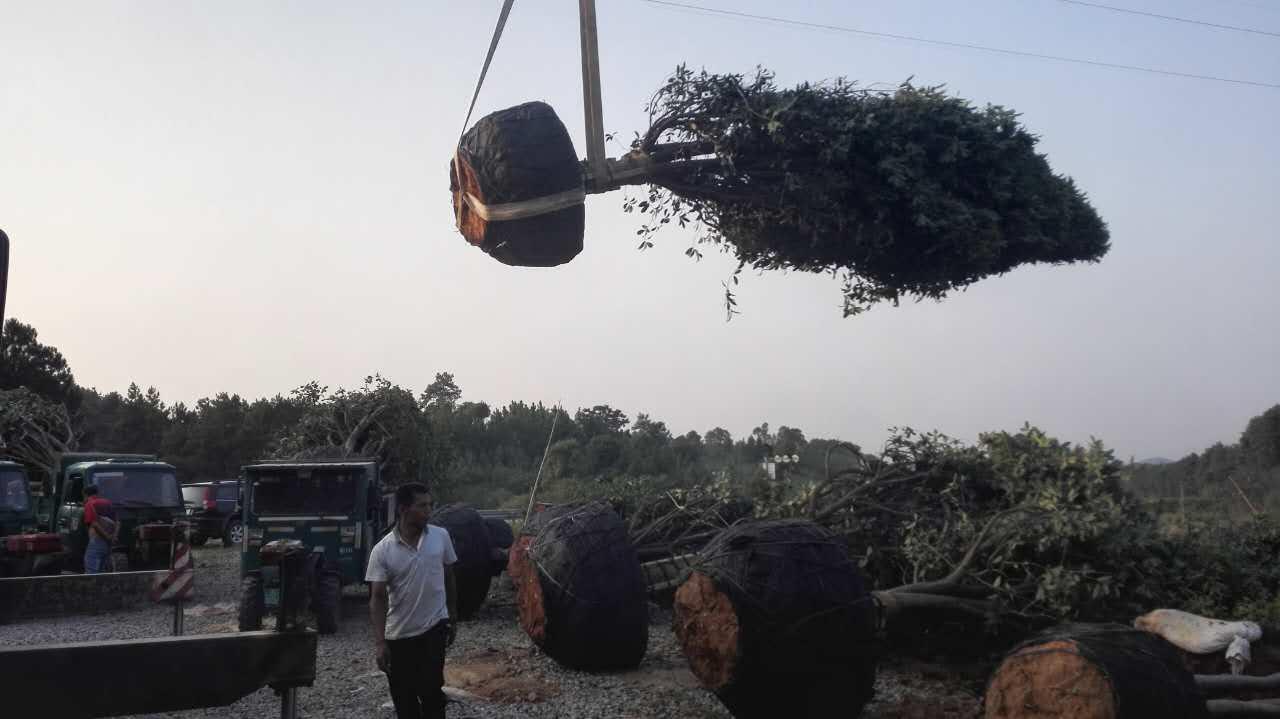 湖北树木移植