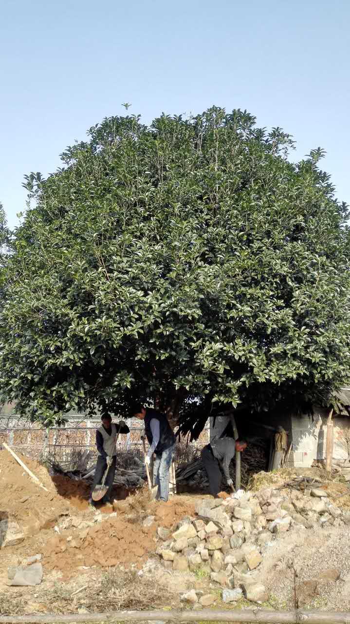 湖南树木种植