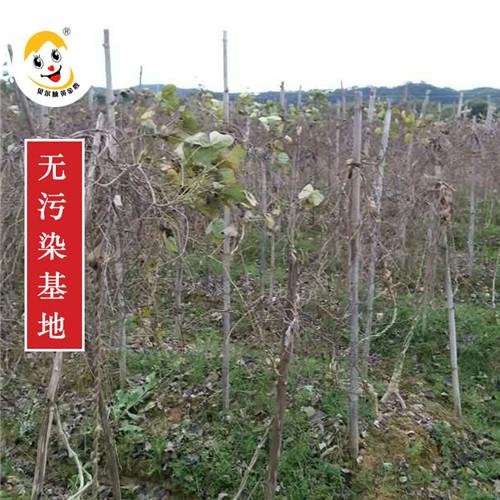 上海粉葛种植