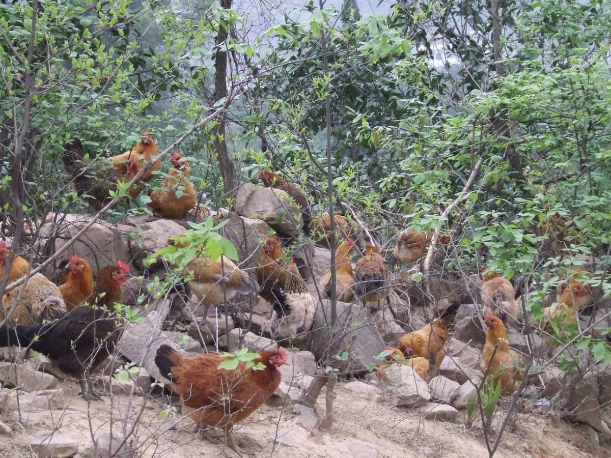 南宁土鸡和普通鸡的区别