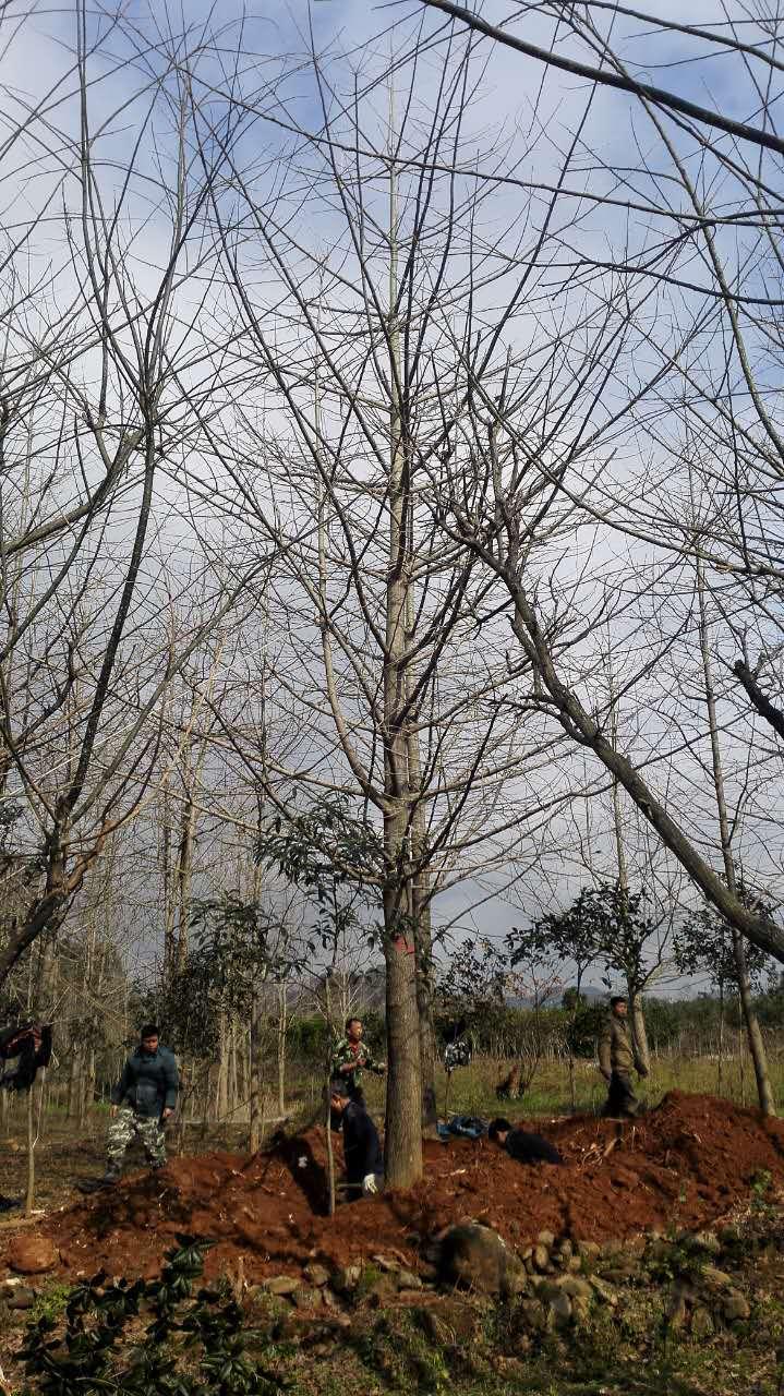 湖北精品红枫树栽培