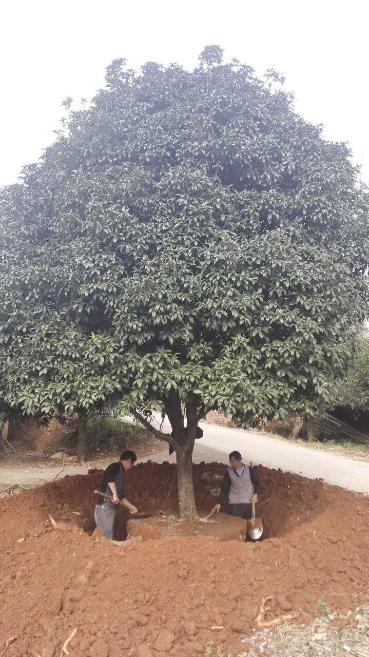 湖南广西桂花树栽培