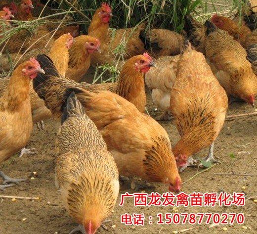 贵州鸡苗销售
