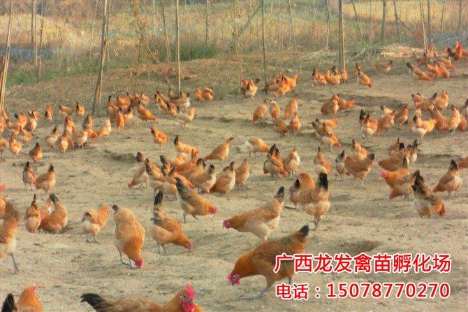 广西瑶鸡苗养殖基地