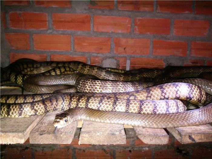 越南西贡水律蛇