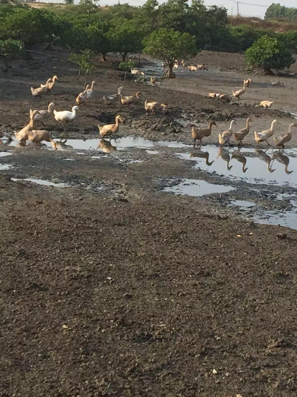 广西觅食的海鸭群