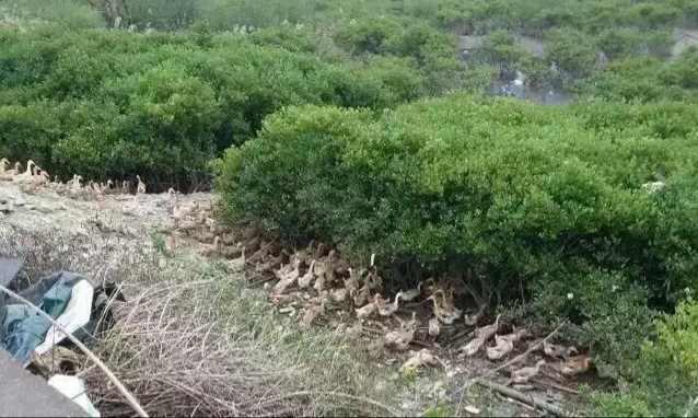 钦州野外海鸭养殖