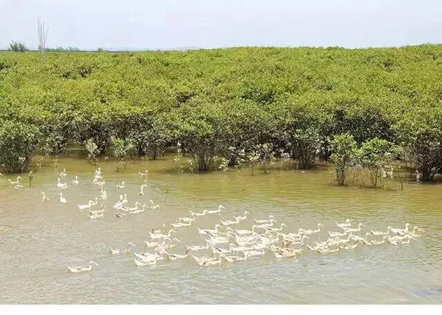 正宗红树林海鸭