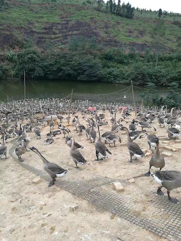 贺州南宁富冠农业鹅场