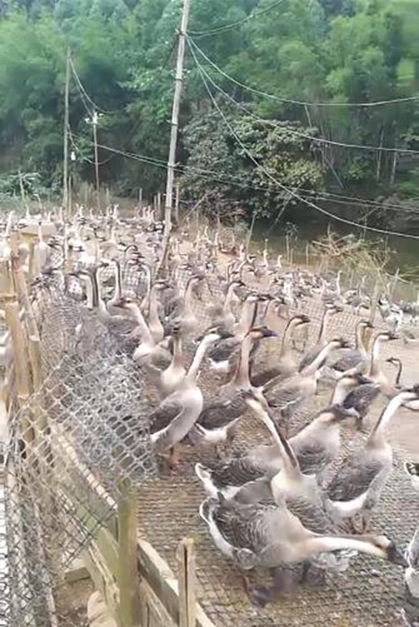 梧州黑棕鹅养殖基地