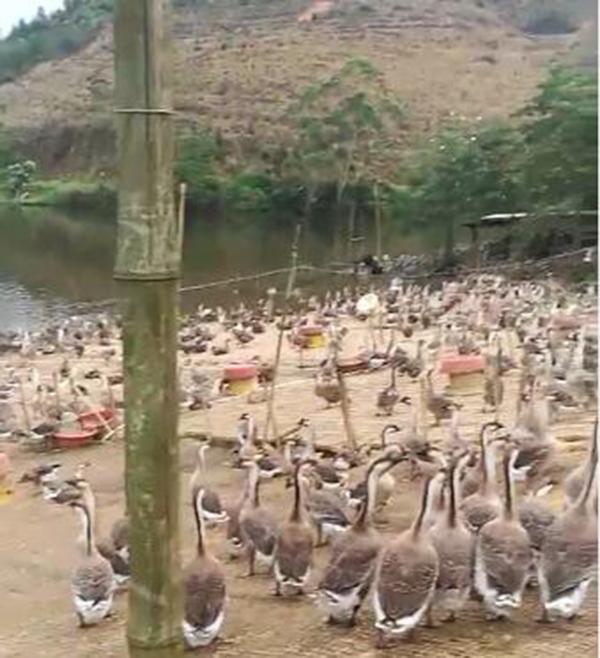 贺州棚鹅养殖基地