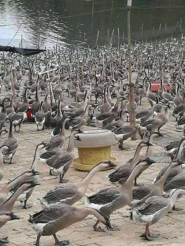梧州狮头鹅养殖基地