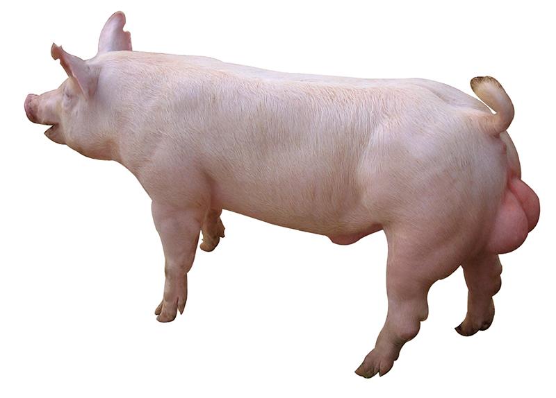 新丹系大白公豬