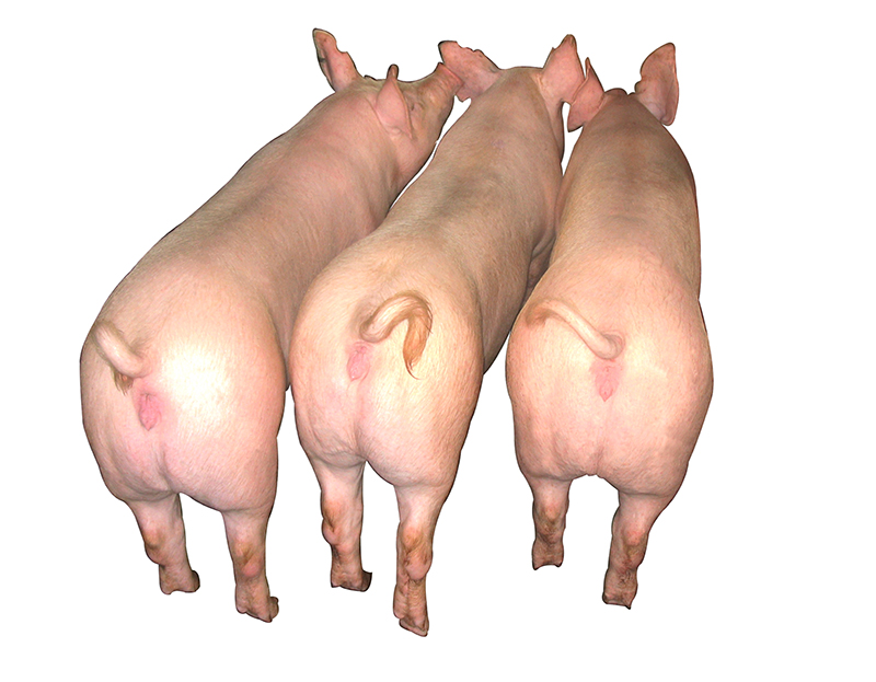 南宁新丹系大白母猪