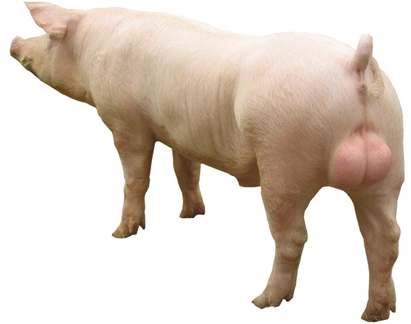 新丹系長白公豬