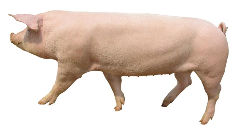 新丹系長白母豬