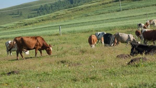 云南马山肉牛养殖基地