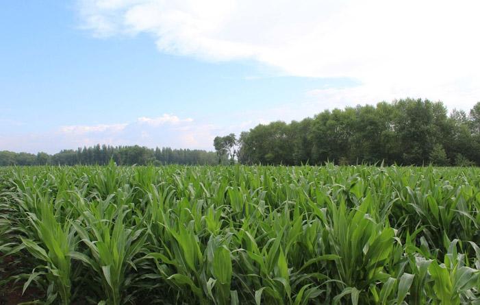 云南玉米种植基地