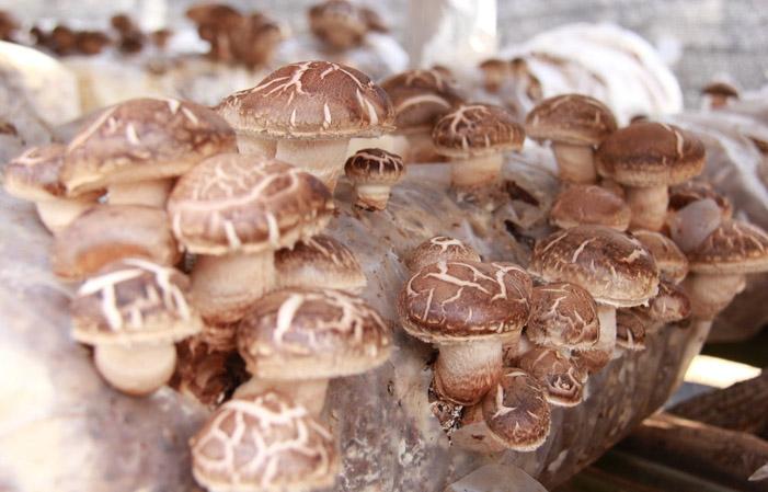 云南食用菌菇种植