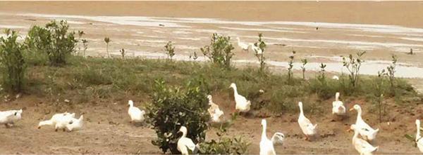 辽宁海鸭放养基地