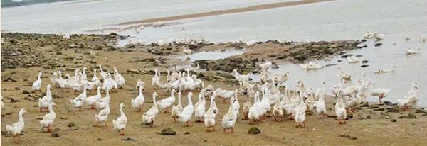 天津海鸭养殖基地