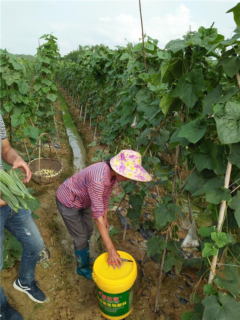 复合微生物肥料施肥现场