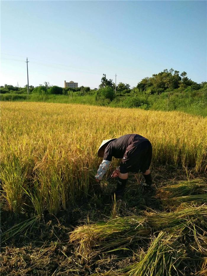惠康集團潿洲島火山稻米種植基地3.jpg