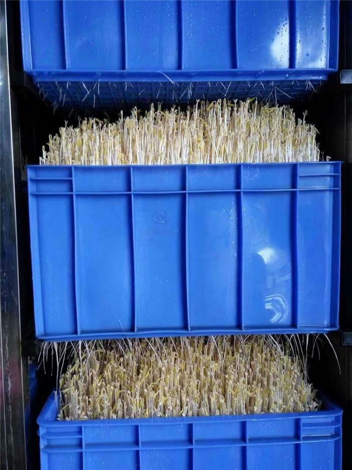 产出成品-豆芽
