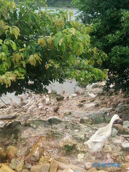 濮阳海鸭养殖基地