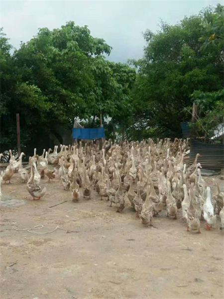濮阳海鸭养殖