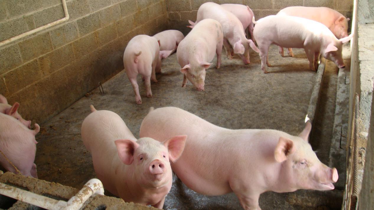 猪粪发酵有机肥技术