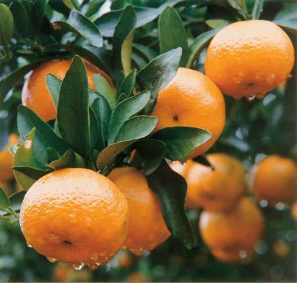 橘子万博官方苹果版下载氨基酸叶面肥和13%有机肥