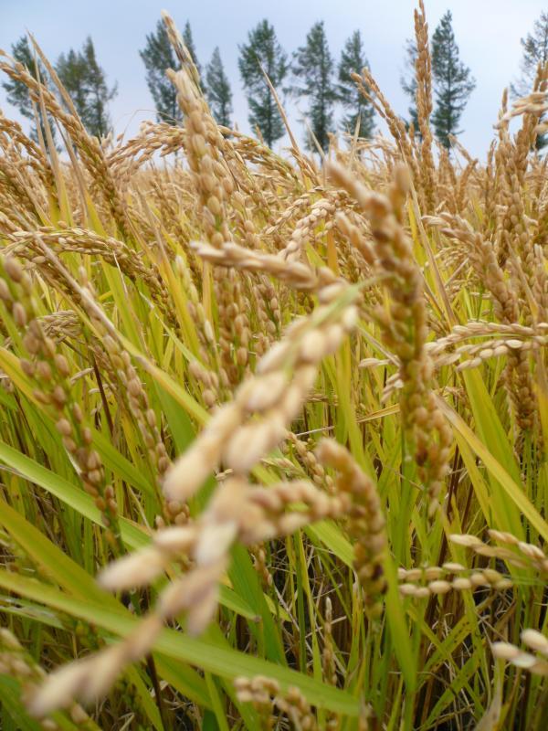 万博官方苹果版下载13%水稻专用有机肥后的manbetx体育app
