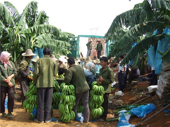 香蕉种植示范基地
