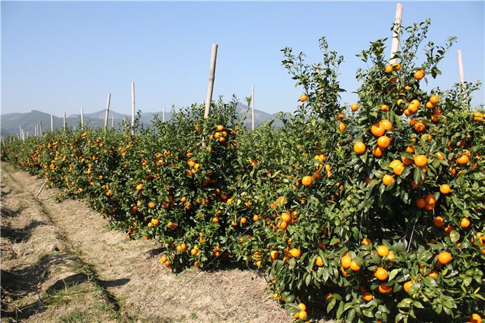 沙糖桔种植示范基地