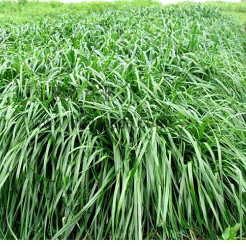 一年生黑麥草