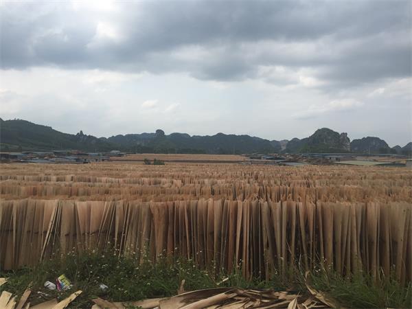 广西桉木皮