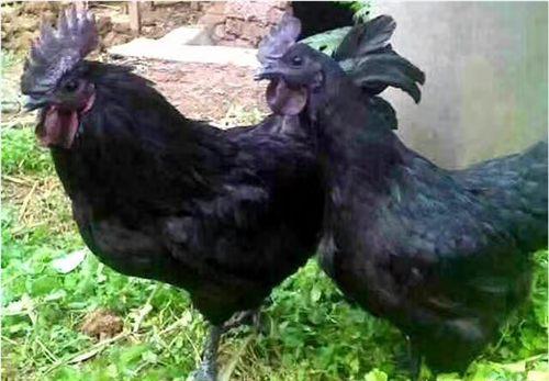 绿壳蛋鸡批发