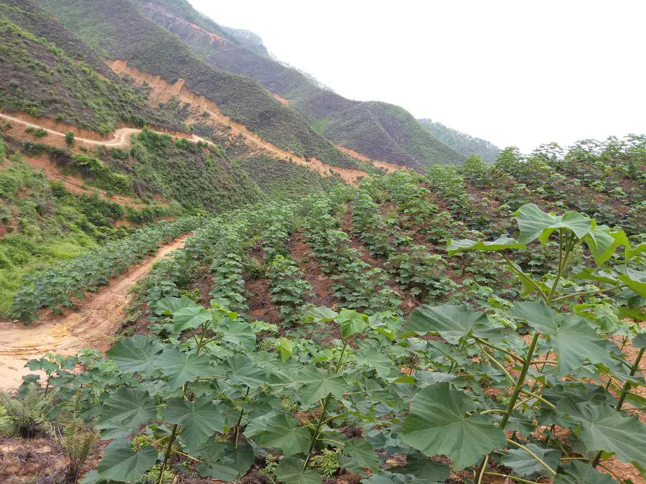 廣西博白綠桐種植基地