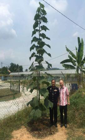 马来西亚、泰国绿桐种植