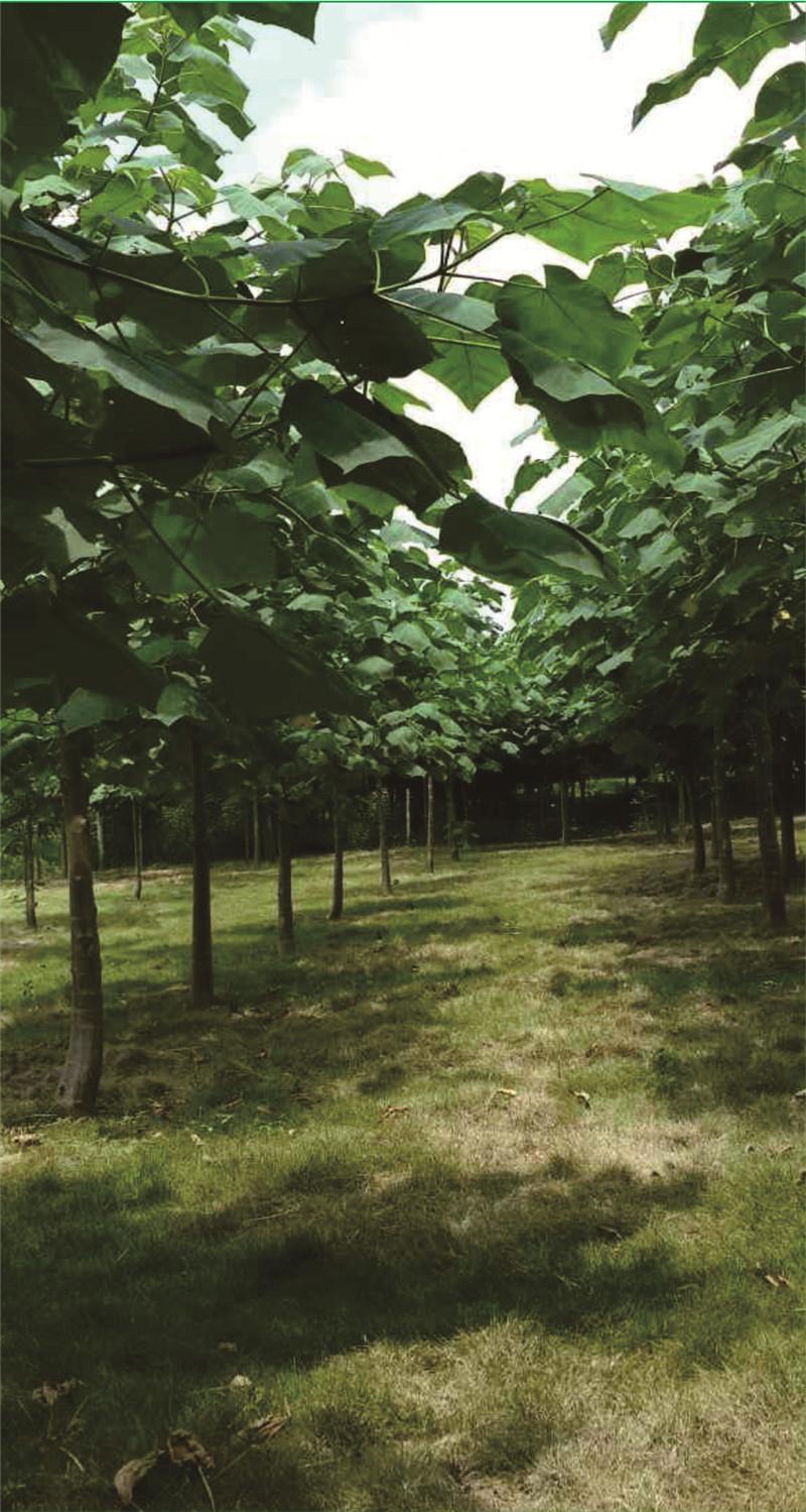 种植1年绿桐树