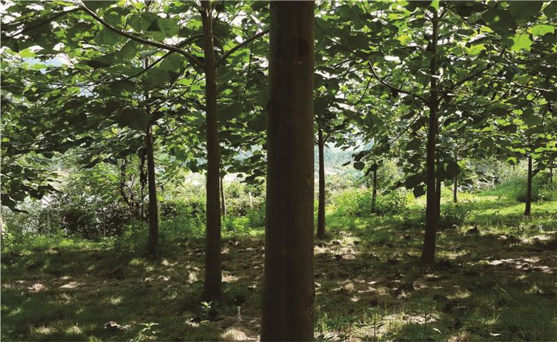 綠桐樹種植2年
