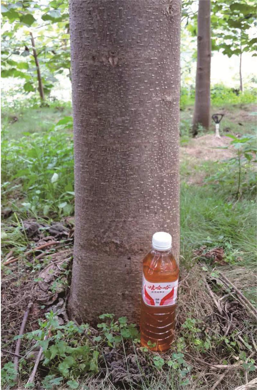 种植2年绿桐树